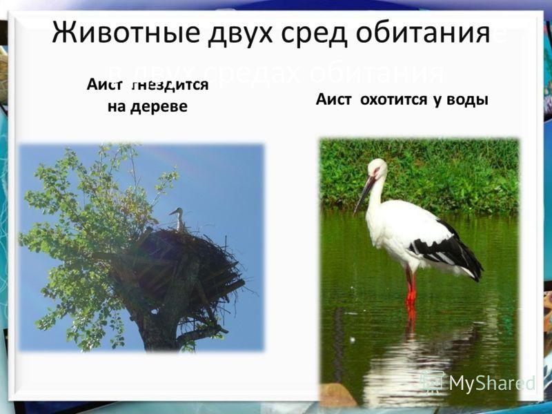 Аист гнездится на дереве Животные двух сред обитанияе в двух средах обитания Аист охотится у воды
