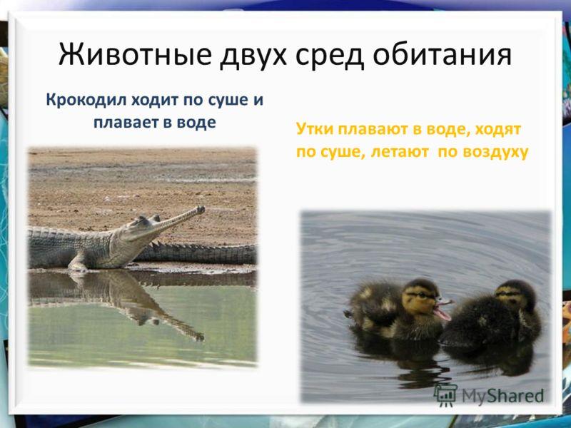 Крокодил ходит по суше и плавает в воде Животные двух сред обитания Утки плавают в воде, ходят по суше, летают по воздуху