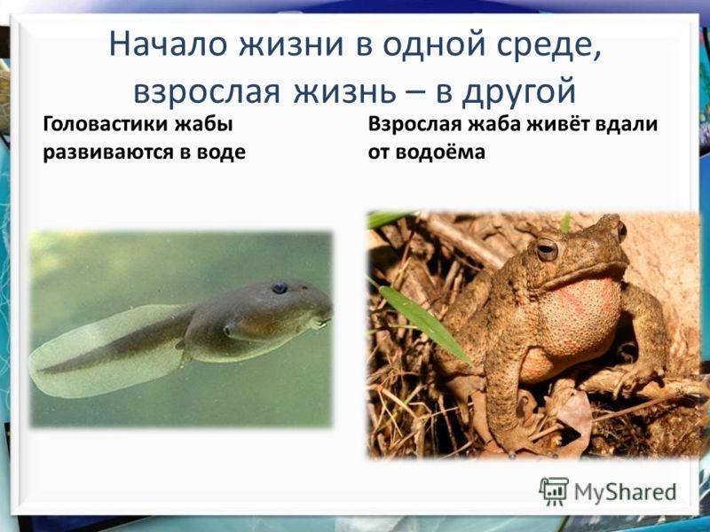 Головастики жабы развиваются в воде Начало жизни в одной среде, взрослая жизнь – в другой Взрослая жаба живёт вдали от водоёма