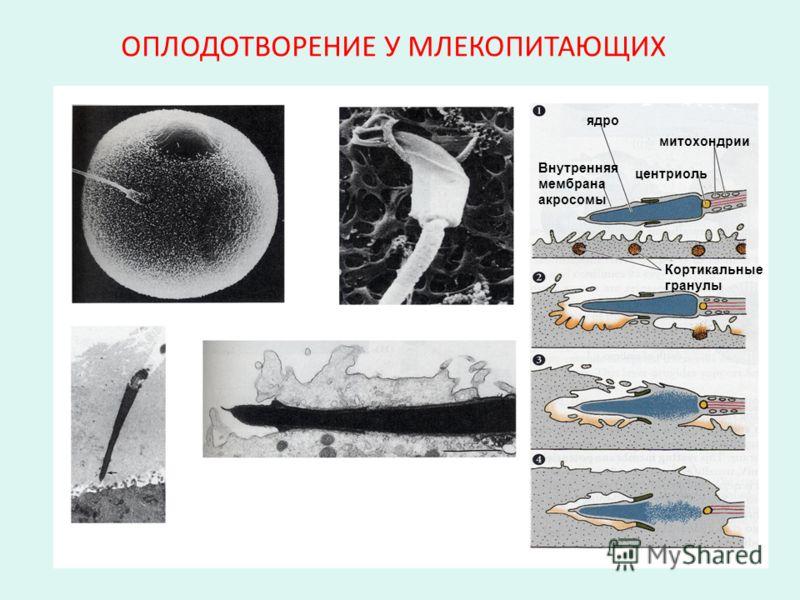 ОПЛОДОТВОРЕНИЕ У МЛЕКОПИТАЮЩИХ ядро Внутренняя мембрана акросомы центриоль митохондрии Кортикальные гранулы