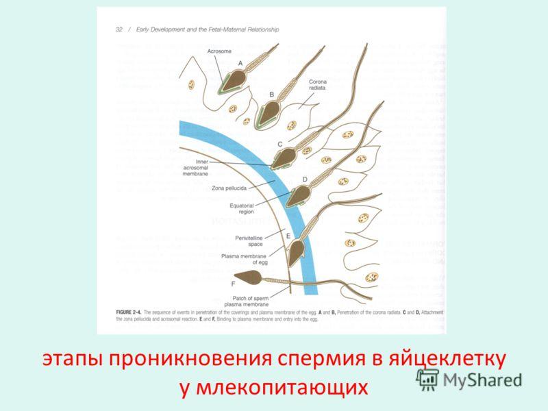 этапы проникновения спермия в яйцеклетку у млекопитающих