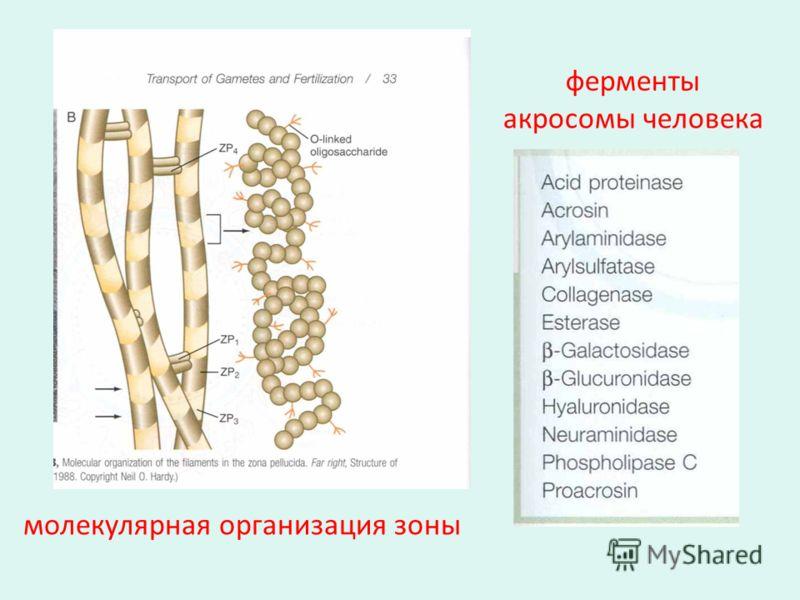 ферменты акросомы человека молекулярная организация зоны