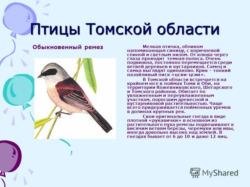 Птицы Томской области Обыкновенный ремез Мелкая птичка, обликом напоминающая синицу, с коричневой спиной и светлым низом. От клюва через глаза проходит темная полоса. Очень подвижна, постоянно перемещается среди ветвей деревьев и кустарников. Самец и