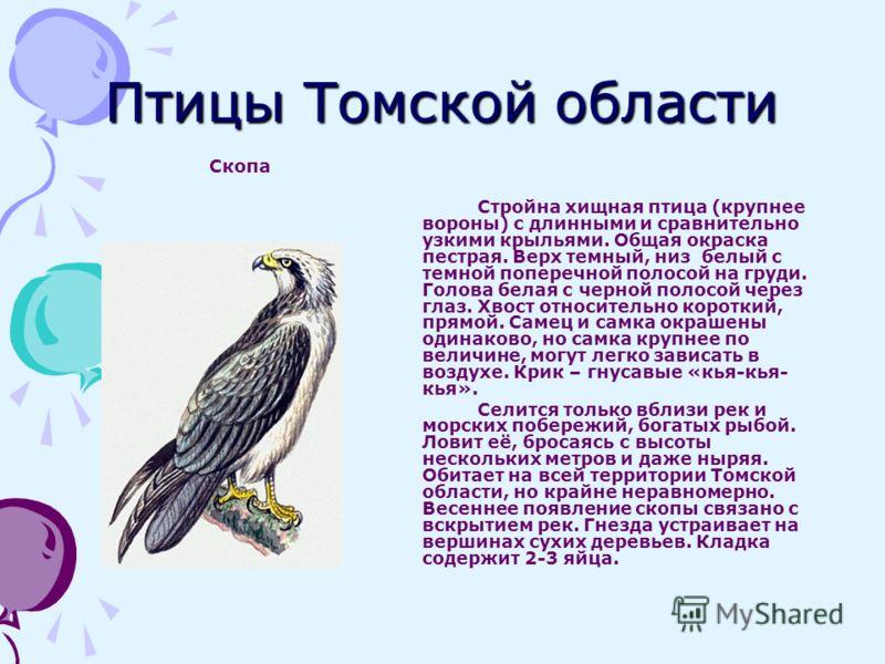 Птицы Томской области Скопа Стройна хищная птица (крупнее вороны) с длинными и сравнительно узкими крыльями. Общая окраска пестрая. Верх темный, низ белый с темной поперечной полосой на груди. Голова белая с черной полосой через глаз. Хвост относител