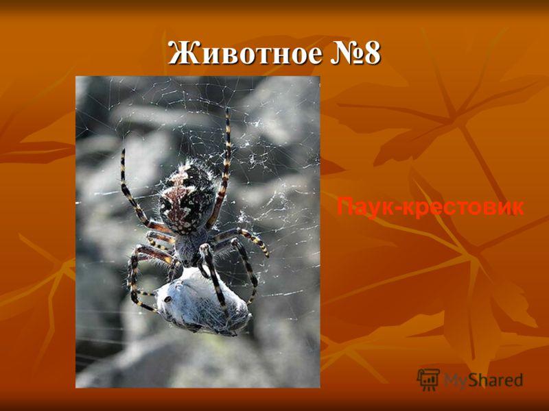 Животное 8 Паук-крестовик