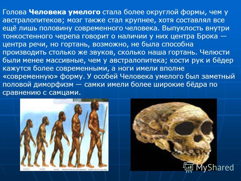 Голова Человека умелого стала более округлой формы, чем у австралопитеков; мозг также стал крупнее, хотя составлял все ещё лишь половину современного человека. Выпуклость внутри тонкостенного черепа говорит о наличии у них центра Брока центра речи, н