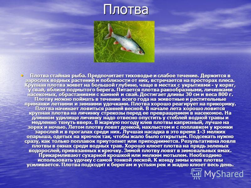 Плотва Плотва стайная рыба. Предпочитает тиховодье и слабое течение. Держится в зарослях водных растений и поблизости от них, встречается на просторах плеса. Крупная плотва живет на большой глубине, чаще в местах с укрытиями - у коряг, у свай, вблизи