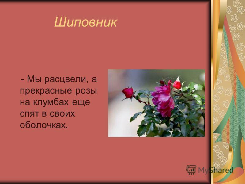Шиповник - Мы расцвели, а прекрасные розы на клумбах еще спят в своих оболочках.