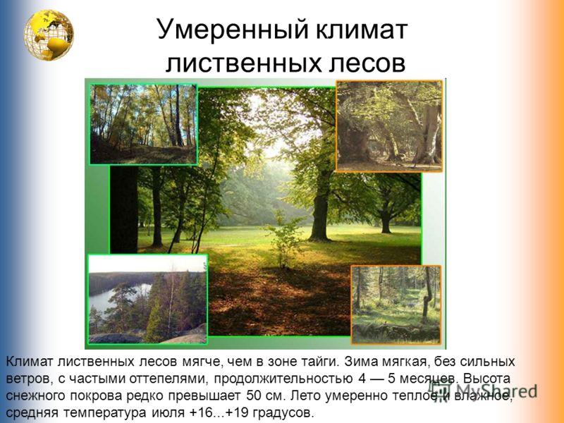 Умеренный климат лиственных лесов Климат лиственных лесов мягче, чем в зоне тайги. Зима мягкая, без сильных ветров, с частыми оттепелями, продолжительностью 4 5 месяцев. Высота снежного покрова редко превышает 50 см. Лето умеренно теплое и влажное, с