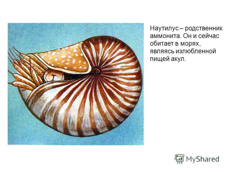 Наутилус – родственник аммонита. Он и сейчас обитает в морях, являясь излюбленной пищей акул.