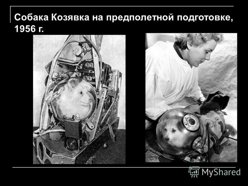Собака Козявка на предполетной подготовке, 1956 г.