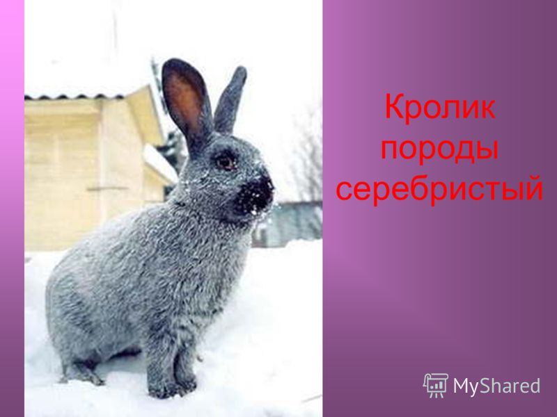 Кролик породы серебристый