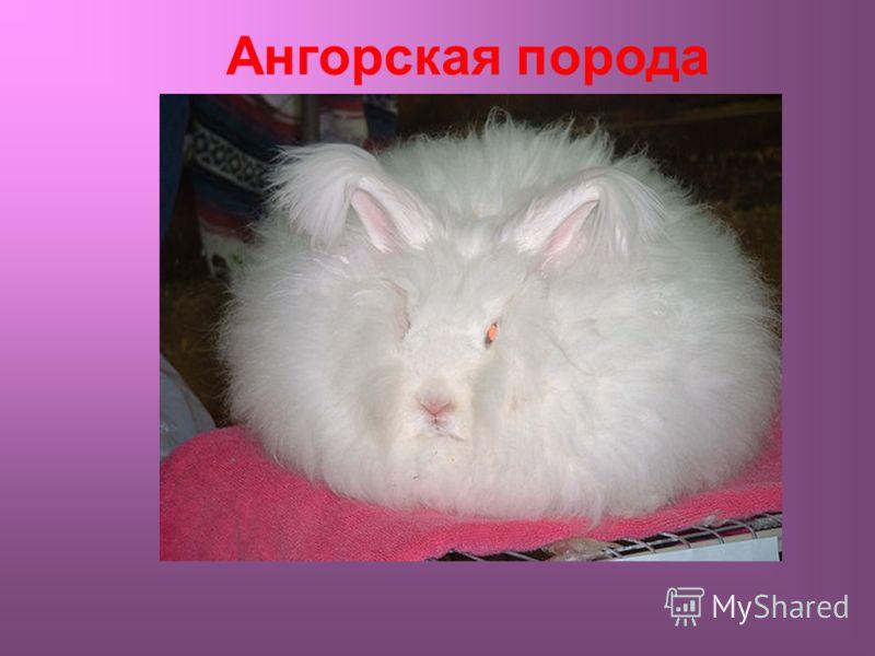 Ангорская порода