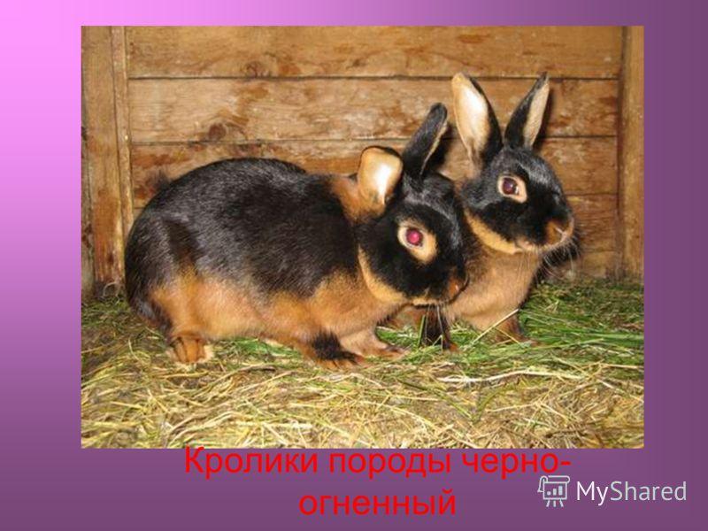 Кролики породы черно- огненный