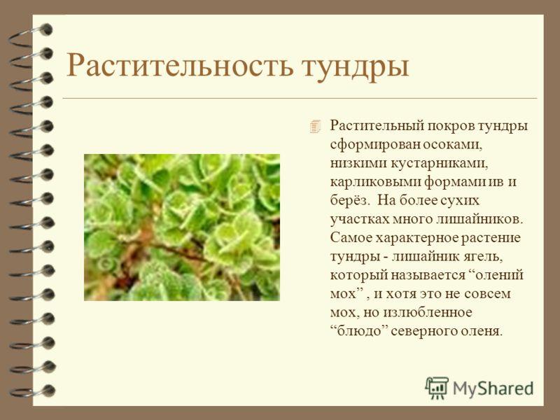 Растительность тундры 4 Растительный покров тундры сформирован осоками, низкими кустарниками, карликовыми формами ив и берёз. На более сухих участках много лишайников. Самое характерное растение тундры - лишайник ягель, который называется олений мох,