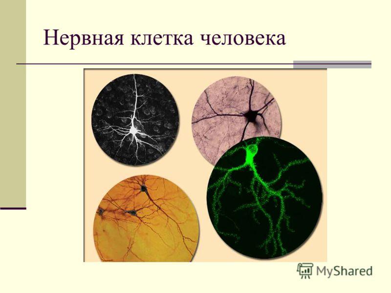 Нервная клетка человека