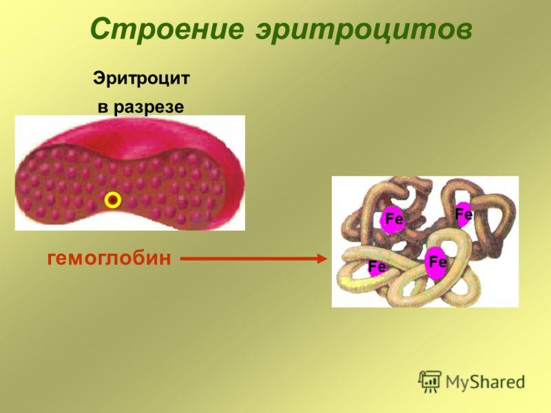 Строение эритроцитов Эритроцит в разрезе гемоглобин Fe