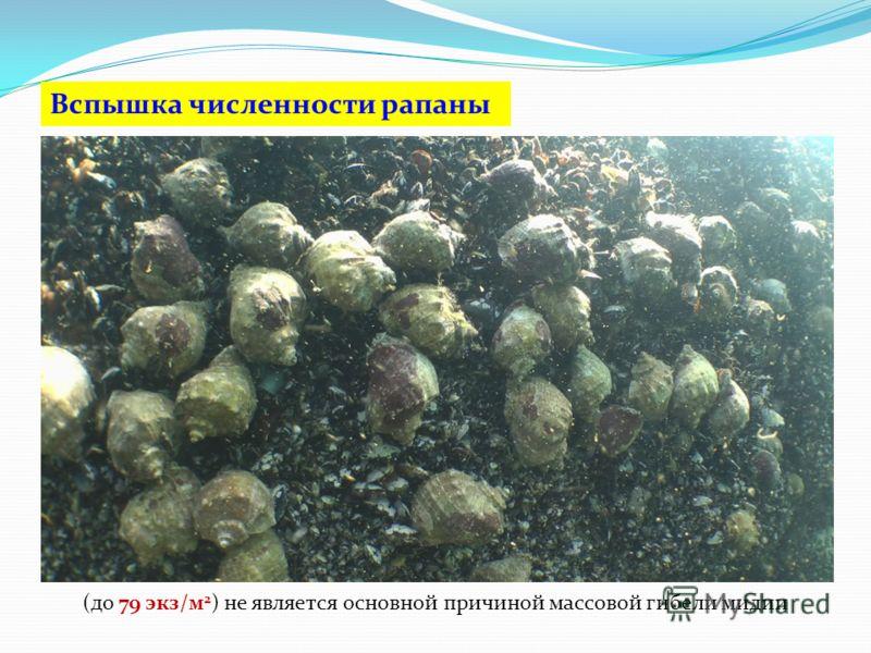 (до 79 экз/м 2 ) не является основной причиной массовой гибели мидии Вспышка численности рапаны