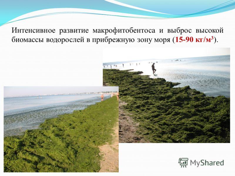 Интенсивное развитие макрофитобентоса и выброс высокой биомассы водорослей в прибрежную зону моря (15-90 кг/м 3 ).