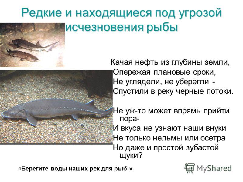 Редкие и находящиеся под угрозой исчезновения рыбы Качая нефть из глубины земли, Опережая плановые сроки, Не углядели, не уберегли - Спустили в реку черные потоки. Не уж-то может впрямь прийти пора- И вкуса не узнают наши внуки Не только нельмы или о