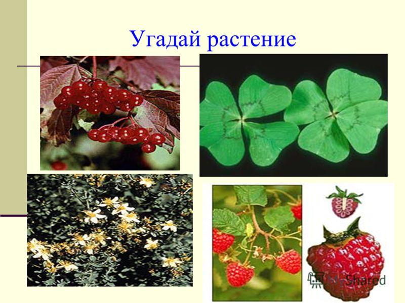 Угадай растение