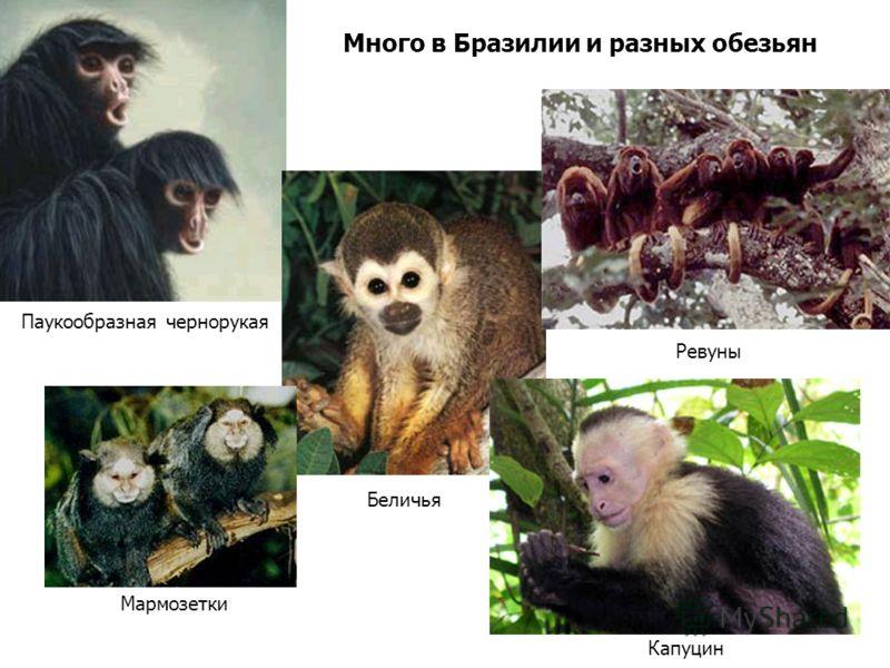 Много в Бразилии и разных обезьян Паукообразная чернорукая Беличья Ревуны Капуцин Мармозетки
