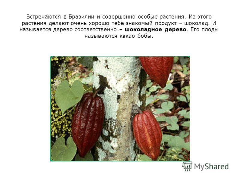 Встречаются в Бразилии и совершенно особые растения. Из этого растения делают очень хорошо тебе знакомый продукт – шоколад. И называется дерево соответственно – шоколадное дерево. Его плоды называются к а као-бобы.