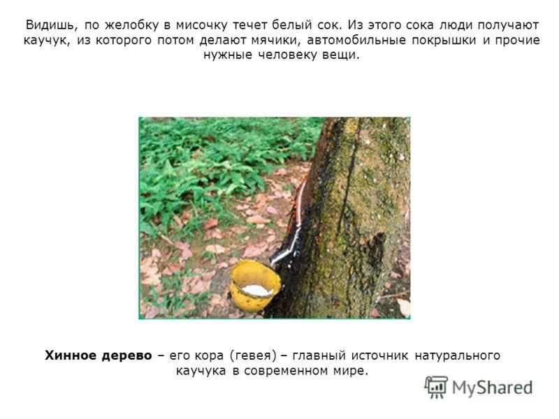 Видишь, по желобку в мисочку течет белый сок. Из этого сока люди получают каучук, из которого потом делают мячики, автомобильные покрышки и прочие нужные человеку вещи. Хинное дерево – его кора (гевея) – главный источник натурального каучука в соврем