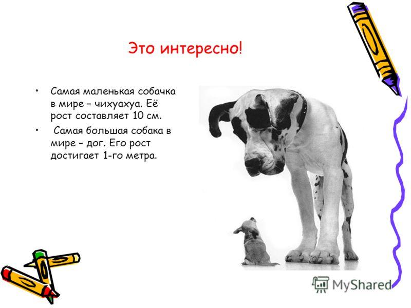 Это интересно! Самая маленькая собачка в мире – чихуахуа. Её рост составляет 10 см. Самая большая собака в мире – дог. Его рост достигает 1-го метра.