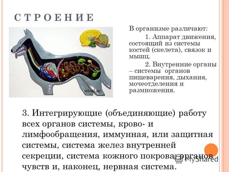 С Т Р О Е Н И Е В организме различают: 1. Аппарат движения, состоящий из системы костей (скелета), связок и мышц. 2. Внутренние органы – системы органов пищеварения, дыхания, мочеотделения и размножения. 3. Интегрирующие (объединяющие) работу всех ор