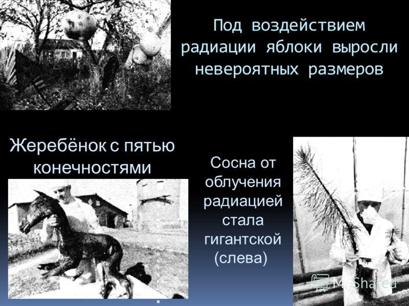 Под воздействием радиации яблоки выросли невероятных размеров Жеребёнок с пятью конечностями Сосна от облучения радиацией стала гигантской (слева)Сосна от облучения радиацией стала гигантской (слева) Этот мальчик, из прилегающей к Чернобылю деревни,