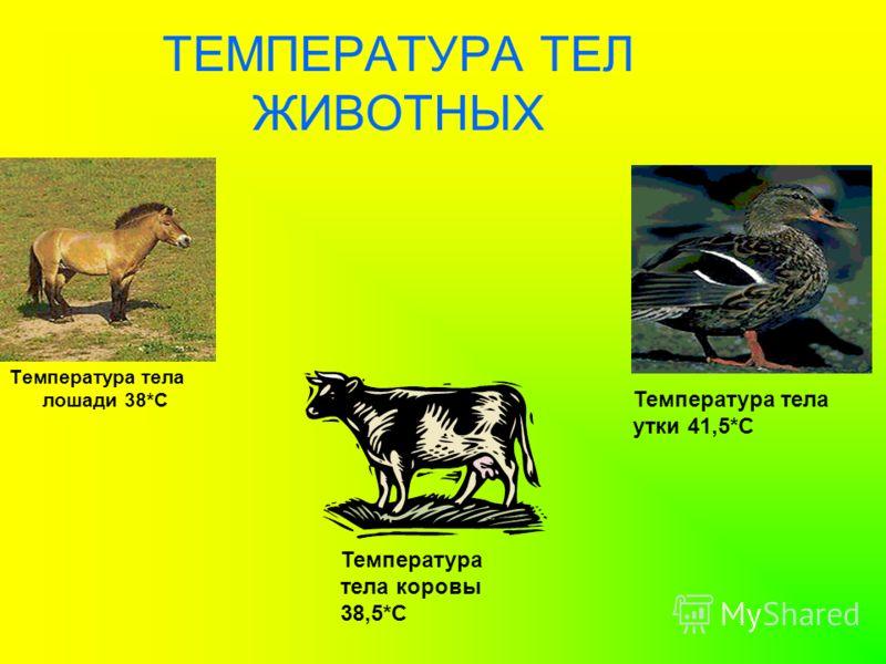 ТЕМПЕРАТУРА ТЕЛ ЖИВОТНЫХ Температура тела лошади 38*С Температура тела утки 41,5*С Температура тела коровы 38,5*С