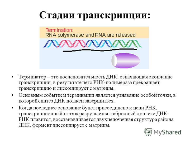 Стадии транскрипции: Терминатор – это последовательность ДНК, означающая окончание транскрипции, в результате чего РНК-полимераза прекращает транскрипцию и диссоциирует с матрицы. Основным событием терминации является узнавание особой точки, в которо