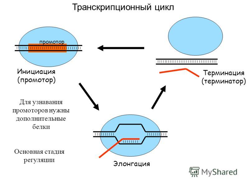 Транскрипционный цикл Инициация (промотор) промотор Элонгация Терминация (терминатор) Для узнавания промоторов нужны дополнительные белки Основная стадия регуляции