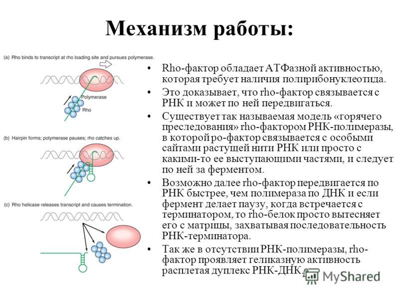 Механизм работы: Rho-фактор обладает АТФазной активностью, которая требует наличия полирибонуклеотида. Это доказывает, что rho-фактор связывается с РНК и может по ней передвигаться. Существует так называемая модель «горячего преследования» rho-фактор