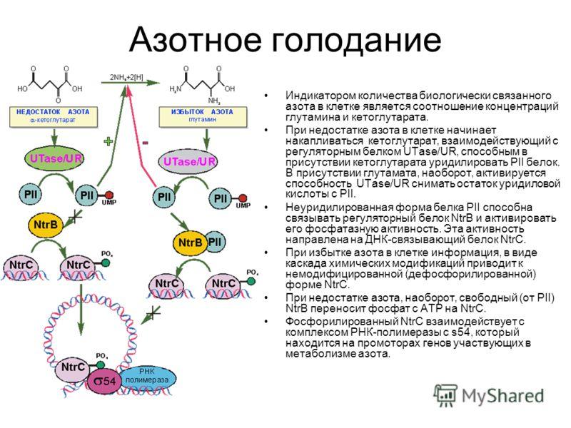 Азотное голодание Индикатором количества биологически связанного азота в клетке является соотношение концентраций глутамина и кетоглутарата. При недостатке азота в клетке начинает накапливаться кетоглутарат, взаимодействующий с регуляторным белком UT