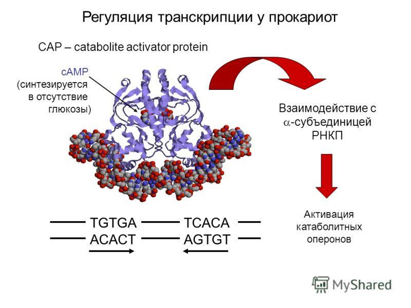 Регуляция транскрипции у прокариот Взаимодействие с -субъединицей РНКП СAP – catabolite activator protein Активация катаболитных оперонов cAMP (синтезируется в отсутствие глюкозы) TGTGA ACACT TCACA AGTGT