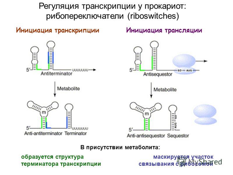 Инициация транскрипцииИнициация трансляции Регуляция транскрипции у прокариот: рибопереключатели (riboswitches) образуется структура терминатора транскрипции В присутствии метаболита: маскируется участок связывания с рибосомой