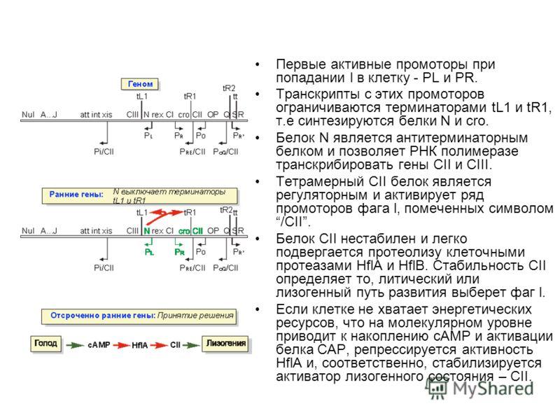 Первые активные промоторы при попадании l в клетку - PL и PR. Транскрипты с этих промоторов ограничиваются терминаторами tL1 и tR1, т.е синтезируются белки N и cro. Белок N является антитерминаторным белком и позволяет РНК полимеразе транскрибировать
