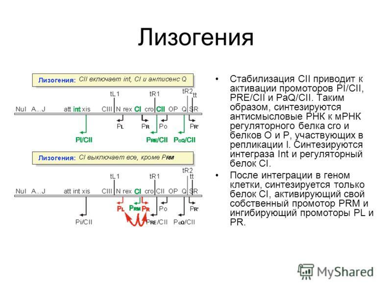 Лизогения Стабилизация CII приводит к активации промоторов PI/CII, PRE/CII и PaQ/CII. Таким образом, синтезируются антисмысловые РНК к мРНК регуляторного белка cro и белков O и P, участвующих в репликации l. Синтезируются интеграза Int и регуляторный
