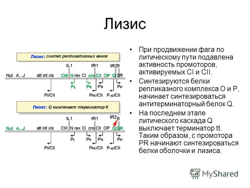 Лизогенный