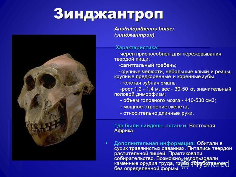 Зинджантроп Australopithecus boisei Australopithecus boisei (зинджантроп) (зинджантроп) Характеристика: Характеристика: -череп приспособлен для пережевывания твердой пищи; -череп приспособлен для пережевывания твердой пищи; -сагиттальный гребень; -са