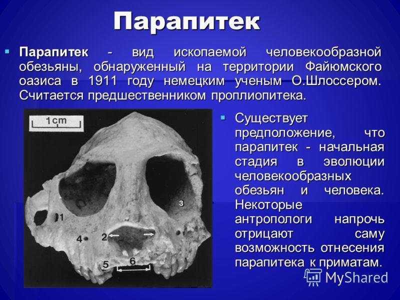 Парапитек Парапитек - вид ископаемой человекообразной обезьяны, обнаруженный на территории Файюмского оазиса в 1911 году немецким ученым О.Шлоссером. Считается предшественником проплиопитека. Парапитек - вид ископаемой человекообразной обезьяны, обна
