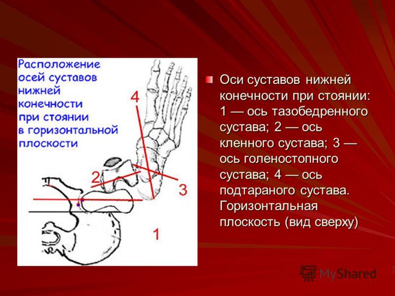 Оси суставов нижней конечности при стоянии: 1 ось тазобедренного сустава; 2 ось кленного сустава; 3 ось голеностопного сустава; 4 ось подтараного сустава. Горизонтальная плоскость (вид сверху)