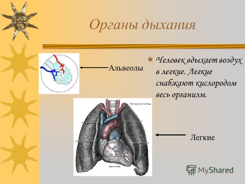 Органы дыхания Человек вдыхает воздух в легкие. Легкие снабжают кислородом весь организм. Альвеолы Легкие