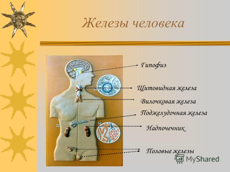 Железы человека Щитовидная железа Гипофиз Надпочечник Поджелудочная железа Половые железы Вилочковая железа