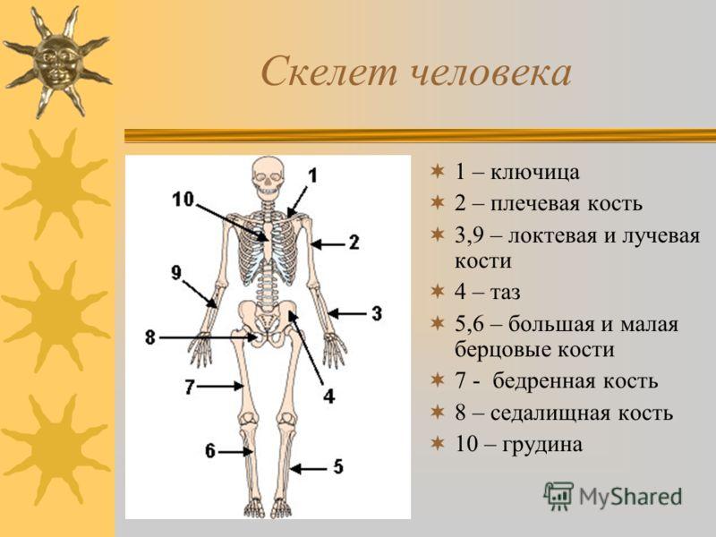 Скелет человека 1 – ключица 2 – плечевая кость 3,9 – локтевая и лучевая кости 4 – таз 5,6 – большая и малая берцовые кости 7 - бедренная кость 8 – седалищная кость 10 – грудина