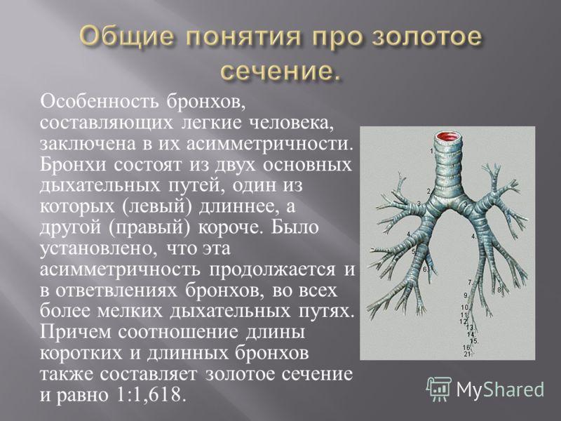 Особенность бронхов, составляющих легкие человека, заключена в их асимметричности. Бронхи состоят из двух основных дыхательных путей, один из которых ( левый ) длиннее, а другой ( правый ) короче. Было установлено, что эта асимметричность продолжаетс