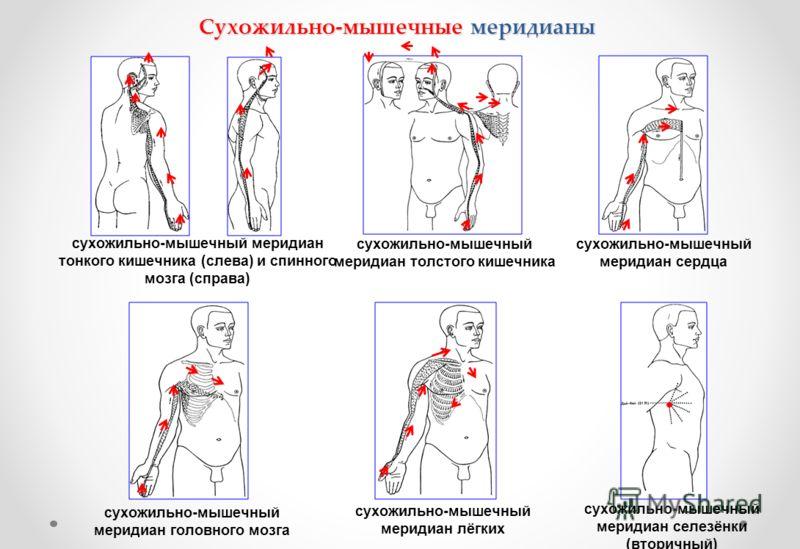 Сухожильно-мышечные меридианы сухожильно-мышечный меридиан тонкого кишечника (слева) и спинного мозга (справа) сухожильно-мышечный меридиан толстого кишечника сухожильно-мышечный меридиан сердца сухожильно-мышечный меридиан головного мозга сухожильно