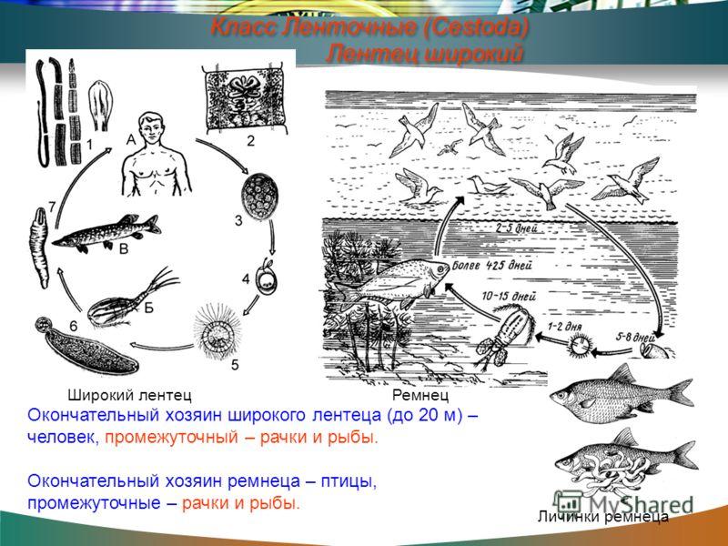 Окончательный хозяин широкого лентеца (до 20 м) – человек, промежуточный – рачки и рыбы. Окончательный хозяин ремнеца – птицы, промежуточные – рачки и рыбы. Широкий лентец Ремнец Личинки ремнеца Класс Ленточные (Cestoda) Лентец широкий